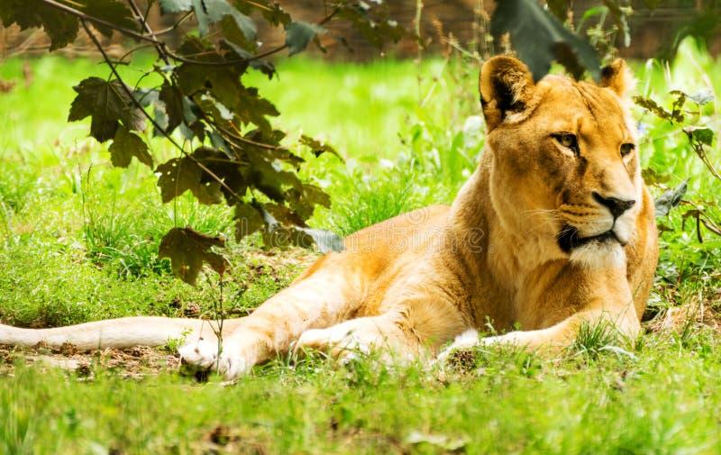Fêmea da leoa Panthera Leo imagens de stock royalty free
