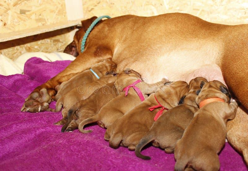Fêmea de aleitação - Dogue de Bordéus imagens de stock royalty free