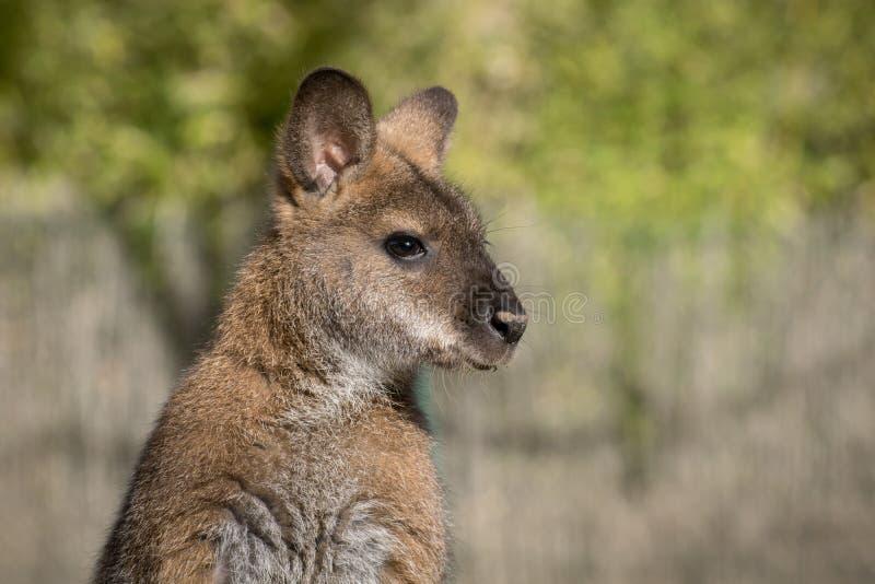 Fêmea de Bennett Wallaby em uma luz do dia imagem de stock