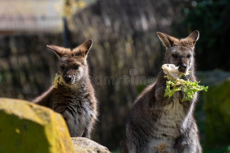 Fêmea de Bennett Wallaby em uma luz do dia foto de stock royalty free