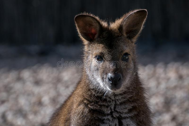 Fêmea de Bennett Wallaby em uma luz do dia fotografia de stock