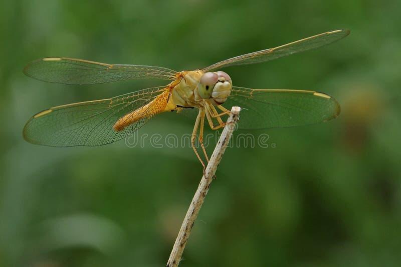 Fêmea de Ruddy Marsh Skimmer fotos de stock