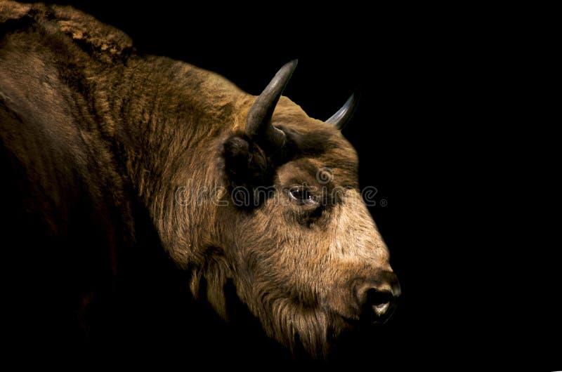 Fêmea do bisonte imagens de stock royalty free
