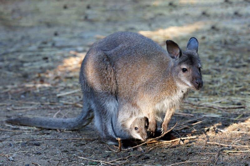 Fêmea do canguru com o bebê pequeno no saco imagens de stock