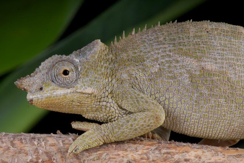 Fêmea do Chameleon de Fischer imagem de stock