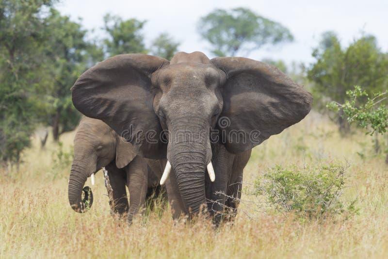 Fêmea do elefante africano (africana do Loxodonta) com jovens, A sul imagem de stock royalty free