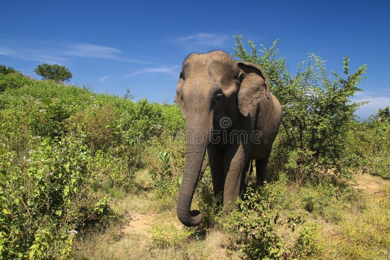 Fêmea do elefante no parque nacional de Udawalawe, Sri Lanka imagens de stock