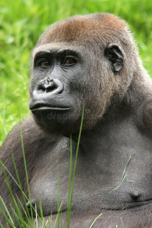 Fêmea do gorila fotografia de stock