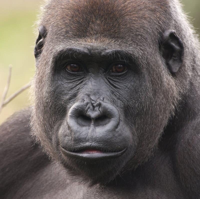 Fêmea do gorila de planície ocidental foto de stock royalty free