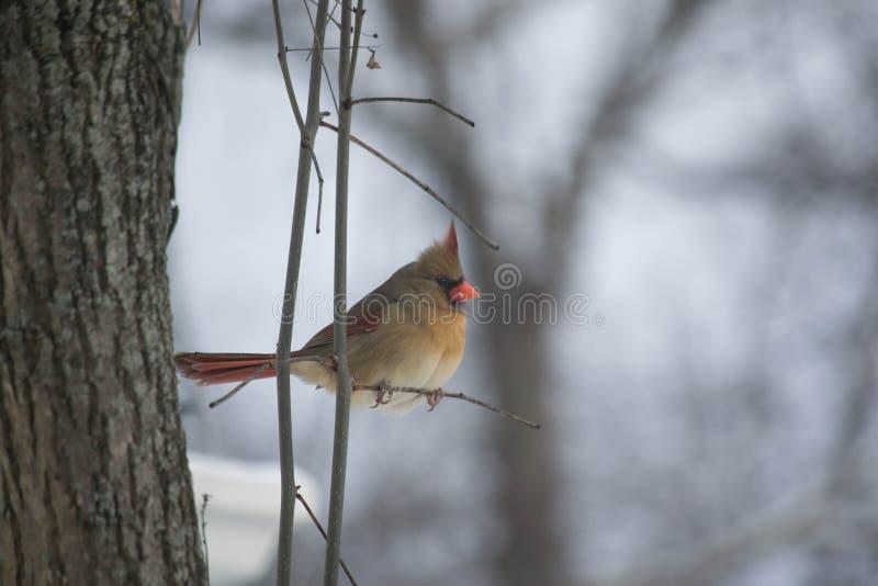 Fêmea do norte cardinal em um dia nevado frio fotos de stock royalty free