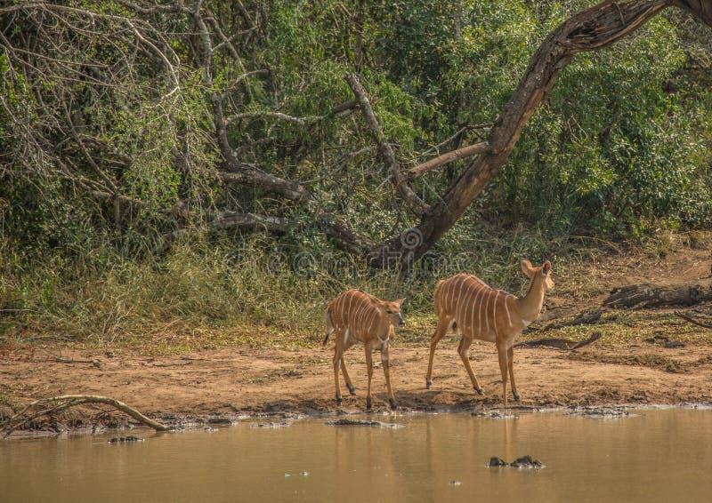 A fêmea do Nyala prepara-se para beber de um waterhole no parque do iMfolozi de Hluhluwe imagem de stock