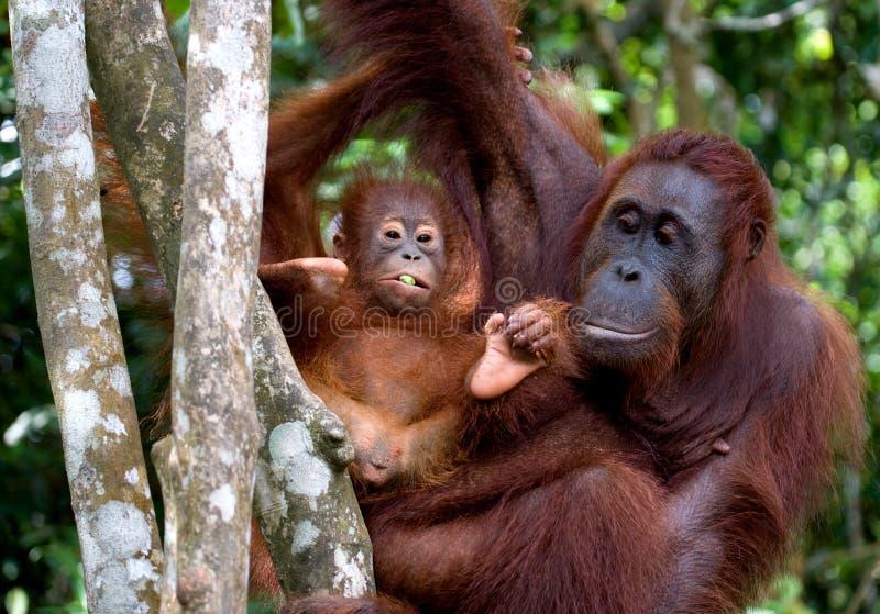 A fêmea do orangotango com um bebê em uma árvore indonésia A ilha de Kalimantan Bornéu imagem de stock royalty free