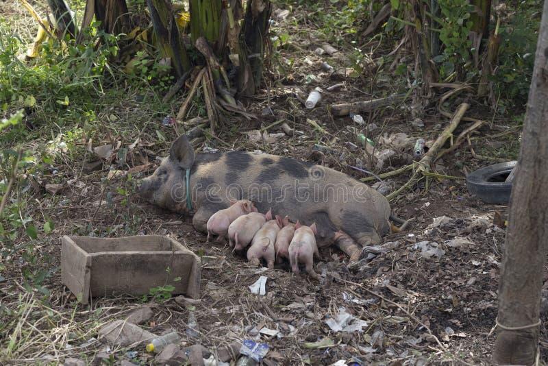 Fêmea do porco que mama seus leitão nos bancos do Mekong no La fotografia de stock royalty free