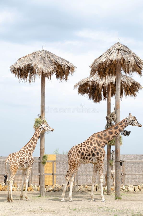 A fêmea e o homem bonitos do girafa dois estão estando próximo foto de stock
