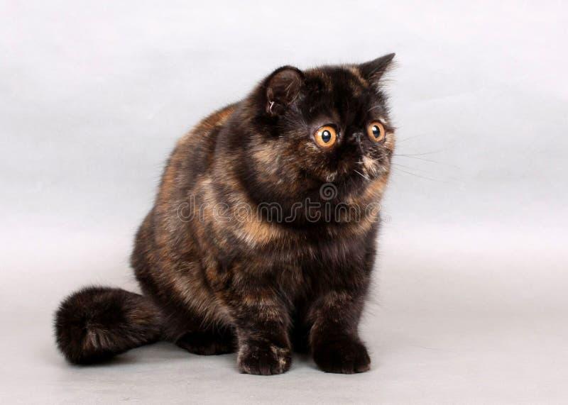 Fêmea exótica do shorthair de Tortie fotos de stock