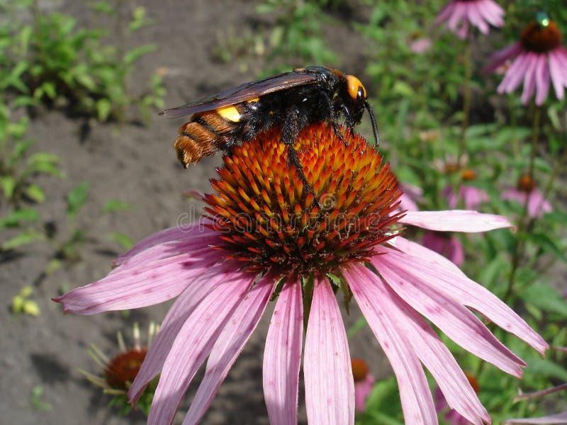 Fêmea gigantesca da vespa (flavifrons do maculata de Megascolia) em uma flor roxa oriental do coneflower imagem de stock royalty free