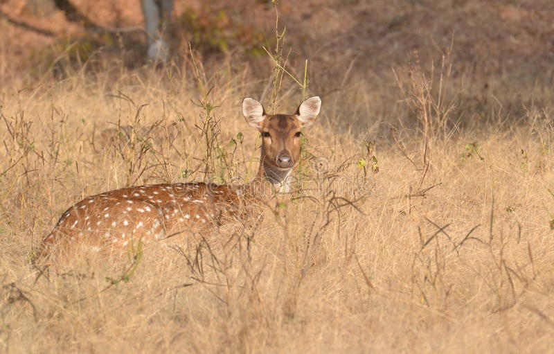 Fêmea manchada dos cervos Chital/Cheetal (linha central da linha central) em uma pastagem em Ranthambhore fotos de stock