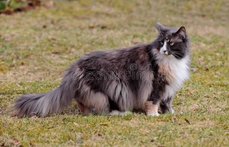 Fêmea norueguesa de cabelos compridos do gato da floresta fotografia de stock royalty free