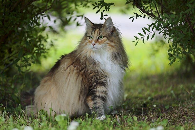 A fêmea norueguesa do gato da floresta senta-se sob os arbustos imagem de stock royalty free