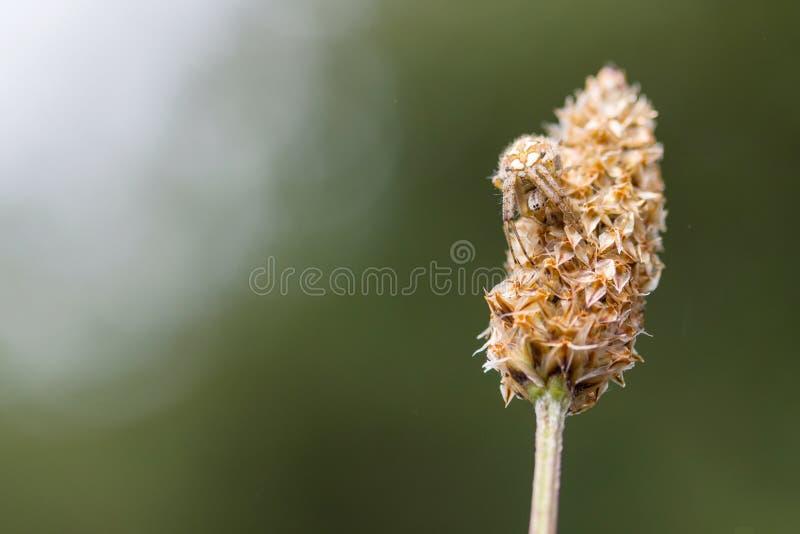 Fêmea nova de uma espera da aranha de Orbweaver do Arabesque fotografia de stock