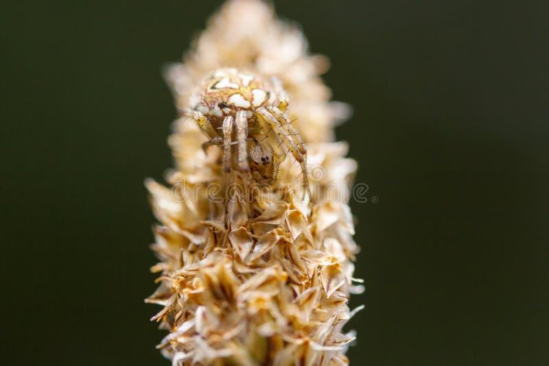 Fêmea nova de uma espera da aranha de Orbweaver do Arabesque foto de stock royalty free