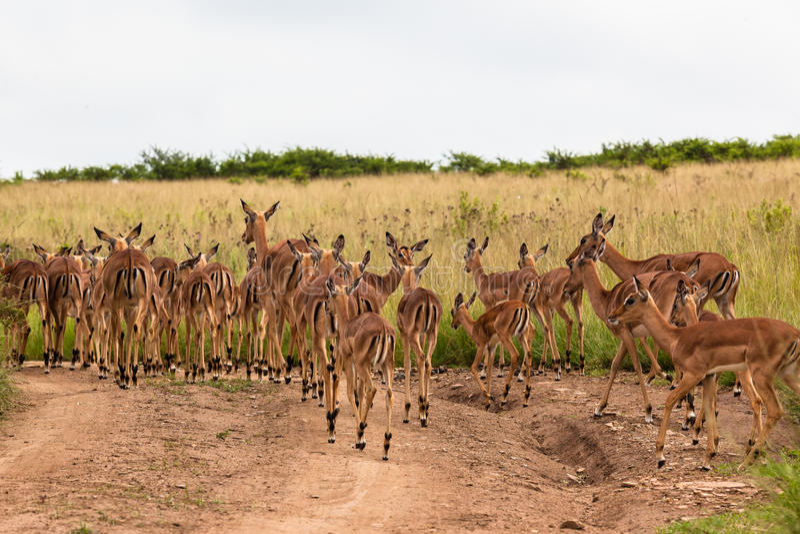 Fêmeas de Calfs do fanfarrão do Impala imagem de stock