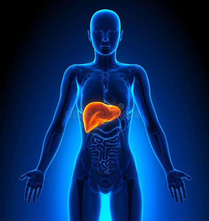 Fígado - órgãos fêmeas - anatomia humana ilustração stock
