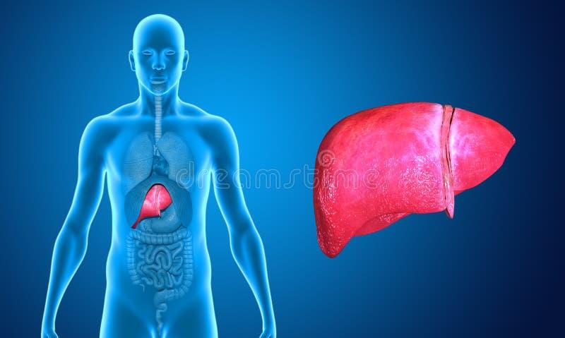 fígado ilustração stock