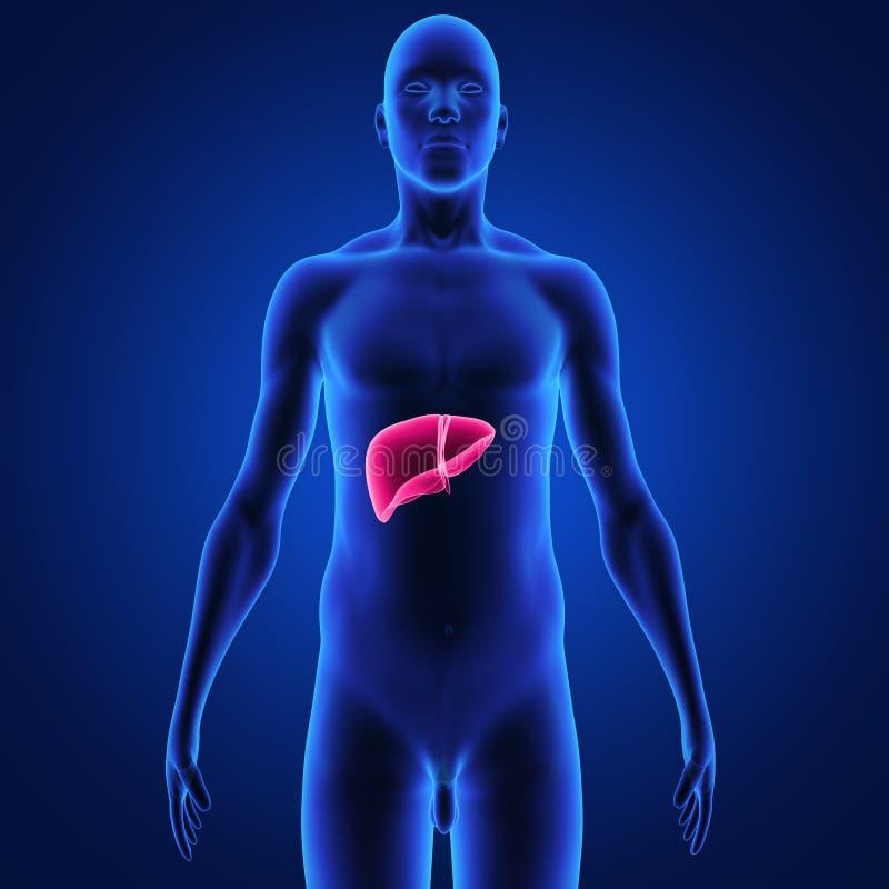 fígado ilustração royalty free