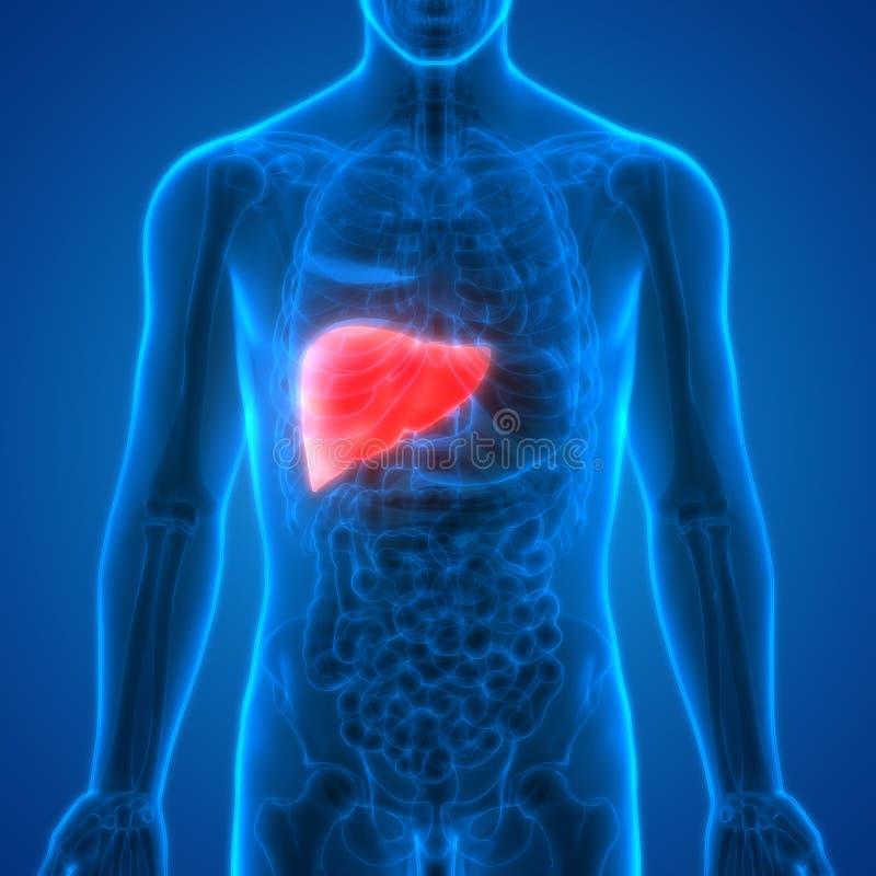 Fígado da anatomia dos órgãos do corpo humano ilustração do vetor