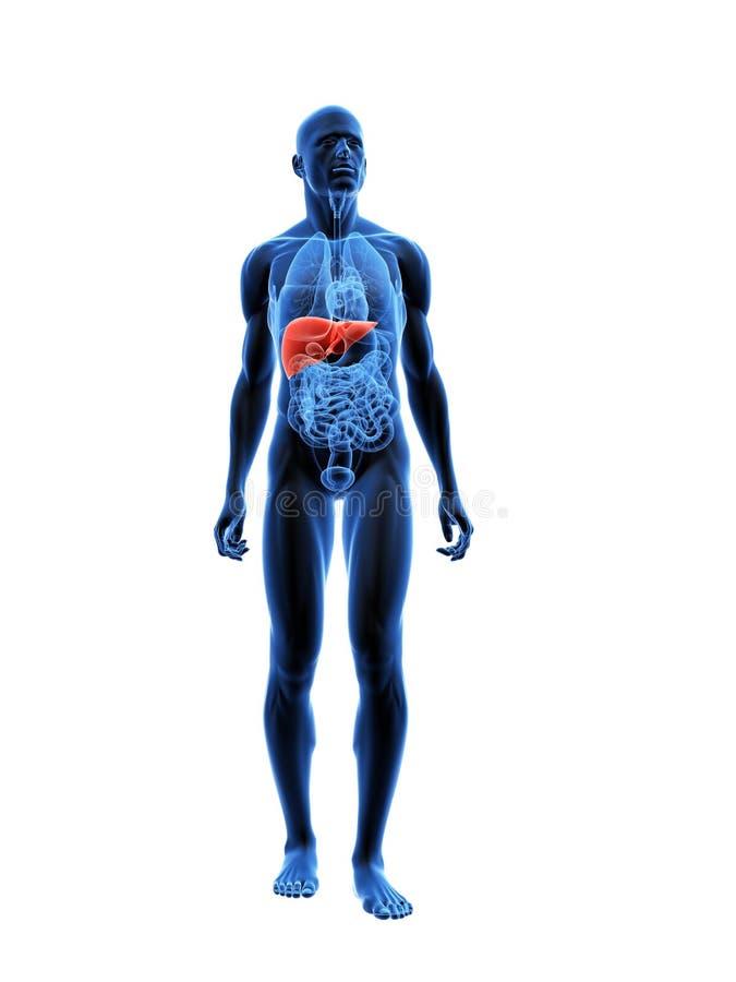 Fígado destacado ilustração stock