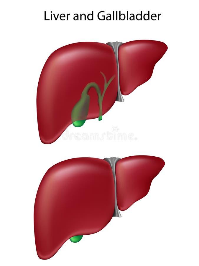 Fígado e vesícula biliar, exatidão do livro de texto ilustração do vetor