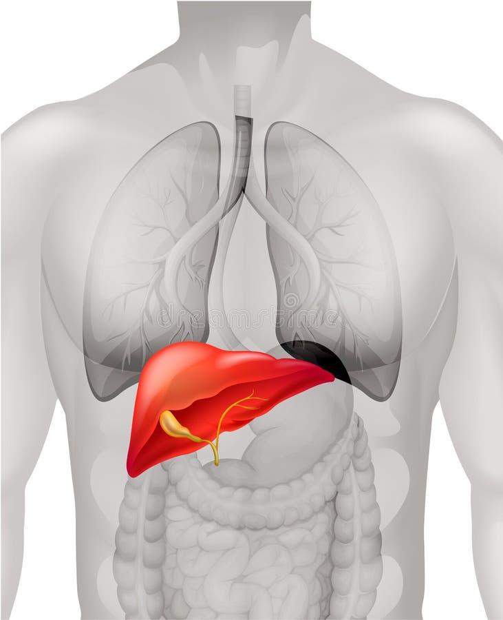 Fígado humano no corpo ilustração do vetor