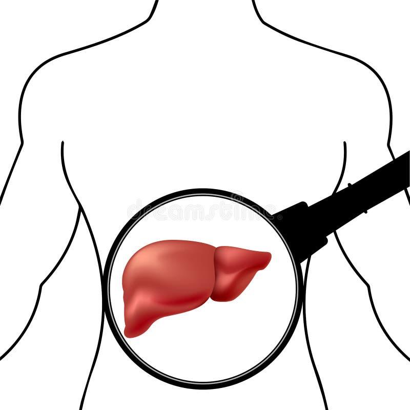 Fígado humano saudável sob uma lupa contra a silhueta do corpo humano ilustração do vetor