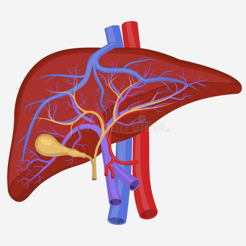 Fígado interno humano ilustração do vetor