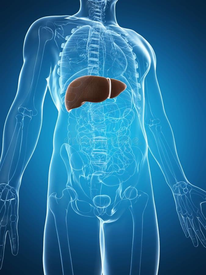 Fígado Masculino Fotos de Stock Royalty Free