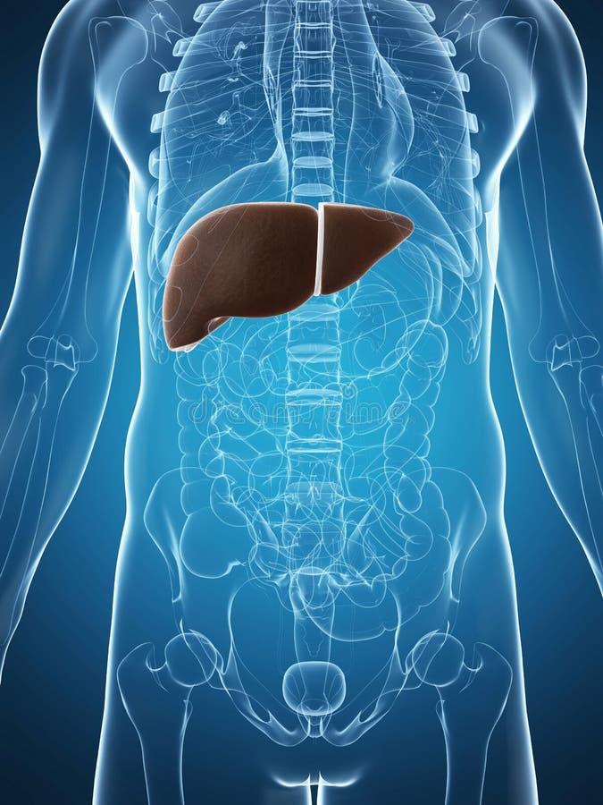 Fígado Masculino Fotografia de Stock