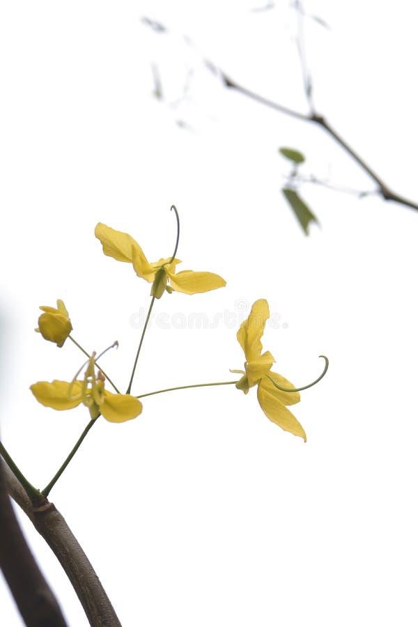 Fístula de la casia del árbol de ducha de oro, flor amarilla hermosa fotografía de archivo libre de regalías