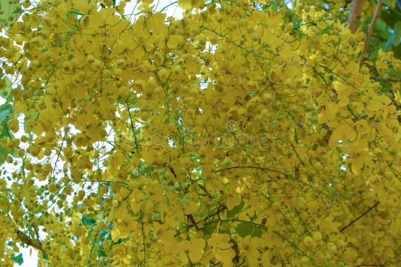 Fístula de la casia en la floración amarilla en verano fotografía de archivo