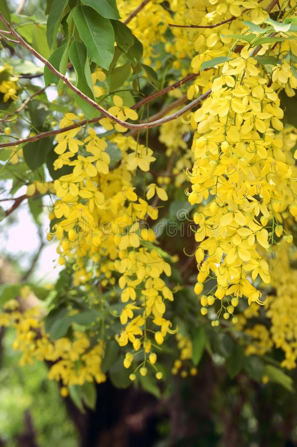 Fístula de la casia o flor comúnmente de oro amarilla hermosa de la flor de los árboles de Amaltas en planta india de la calle en fotos de archivo