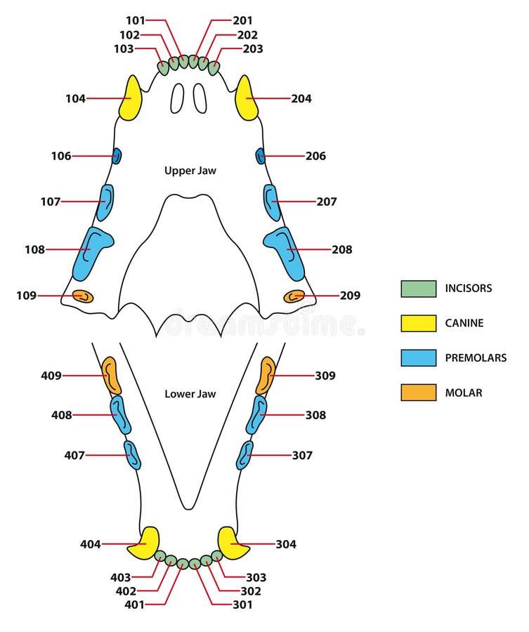 Fórmula dental de los dientes de los gatos ilustración del vector