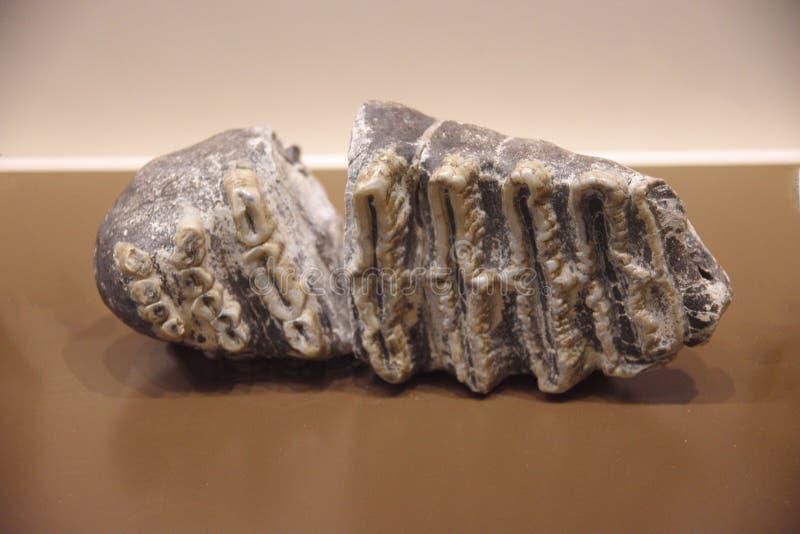 Fósil de caracoles imagen de archivo