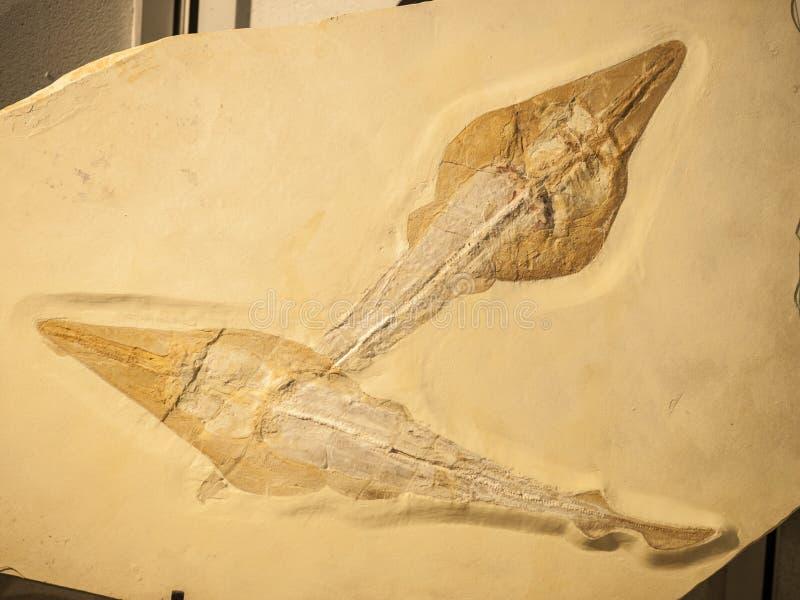Fósil de dos pescados de Rhynobatos imágenes de archivo libres de regalías