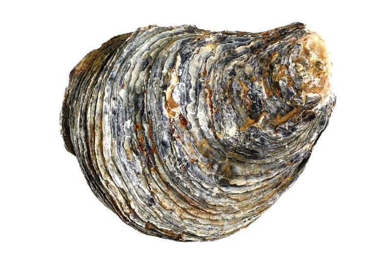 Fósil de la cáscara de ostra, colores del estallido fotografía de archivo libre de regalías