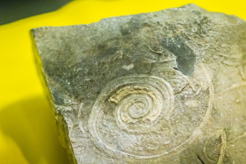 Fósil de la cáscara del gastrópodo para la educación de nuevo al cambriano temprano fotos de archivo libres de regalías