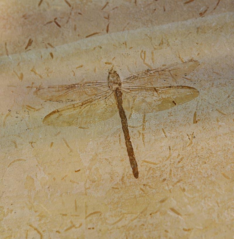 Fósil de la libélula imágenes de archivo libres de regalías