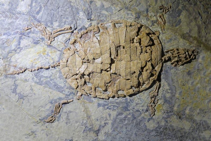 Fósil de la tortuga fotos de archivo
