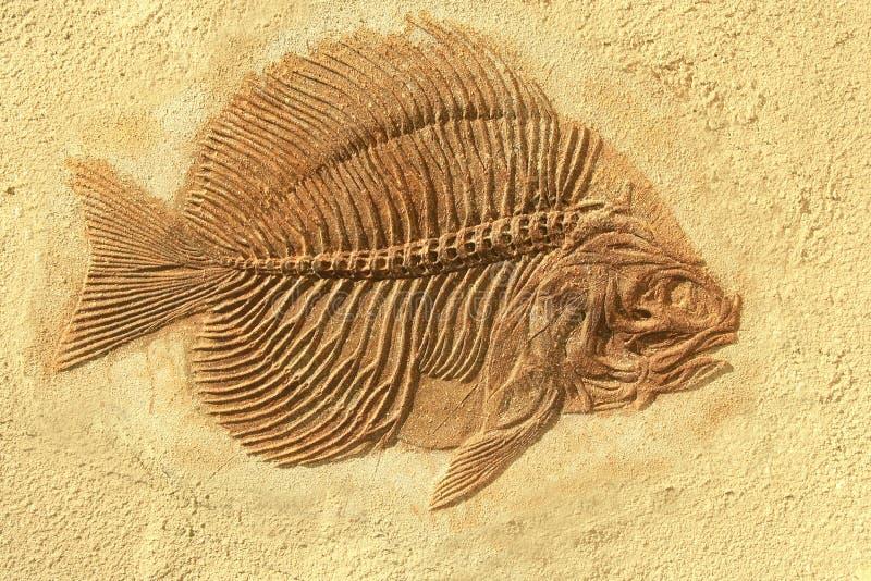 Fósil de los pescados fotos de archivo libres de regalías