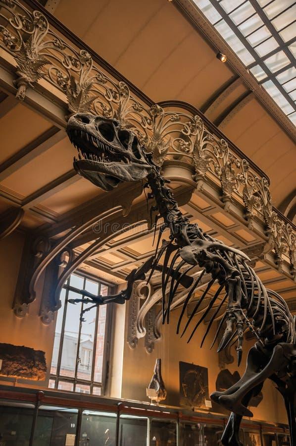 Fósil del dinosaurio carnívoro en la galería de la paleontología y de la anatomía comparativa en París fotografía de archivo libre de regalías
