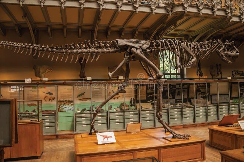 Fósil del dinosaurio carnívoro en la galería de la paleontología y de la anatomía comparativa en París fotos de archivo libres de regalías